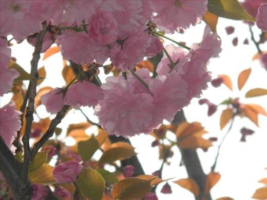 """fleur de cerisier """"Sakura"""""""