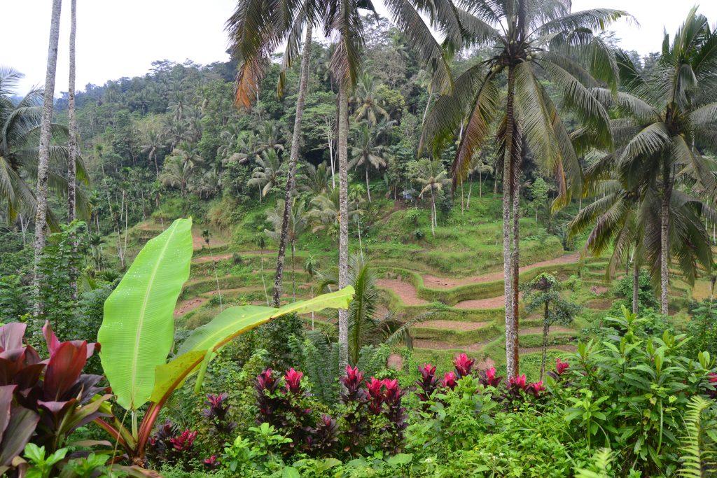 Rizière de Tegalalang