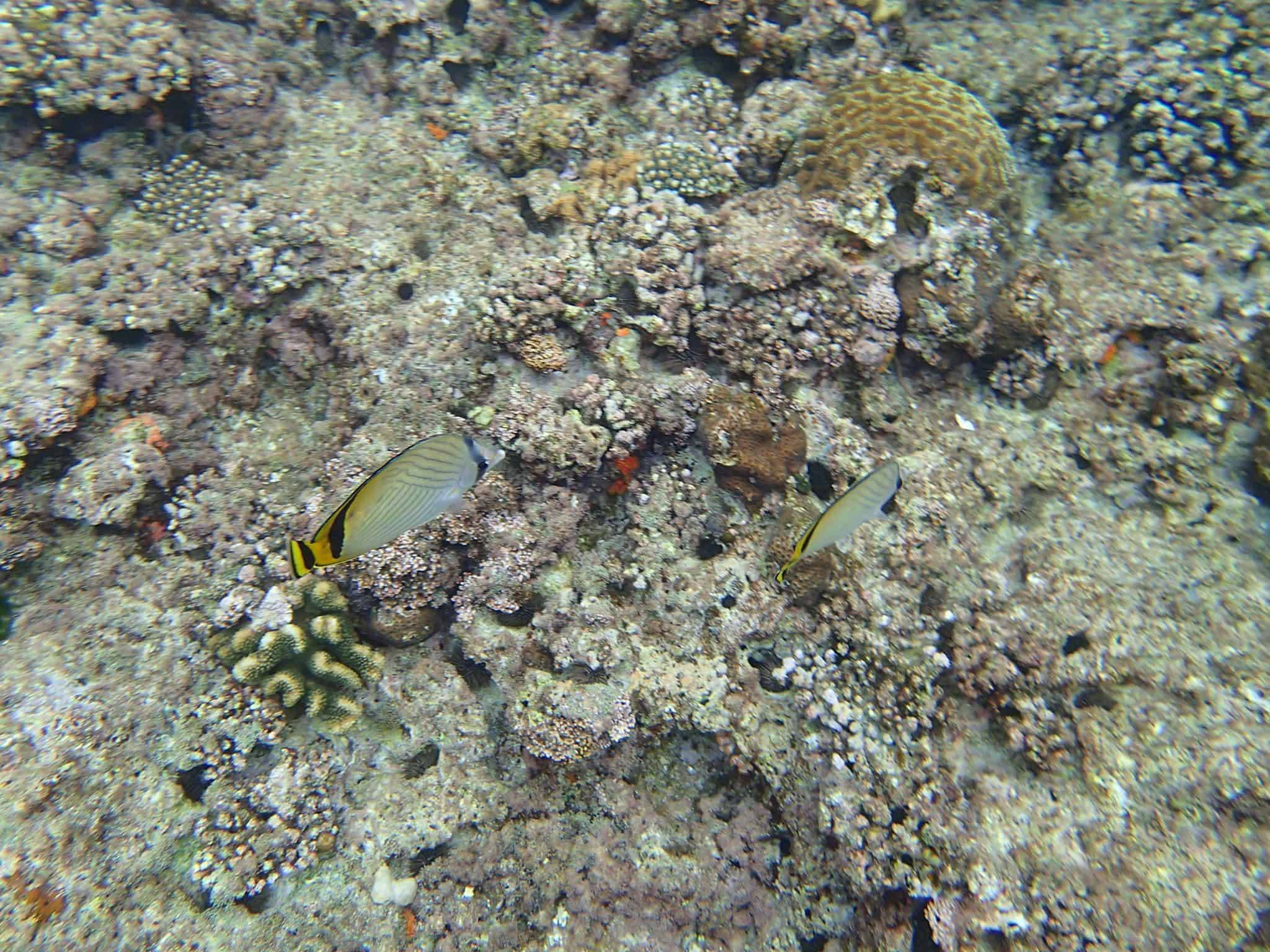 poissons jaunes