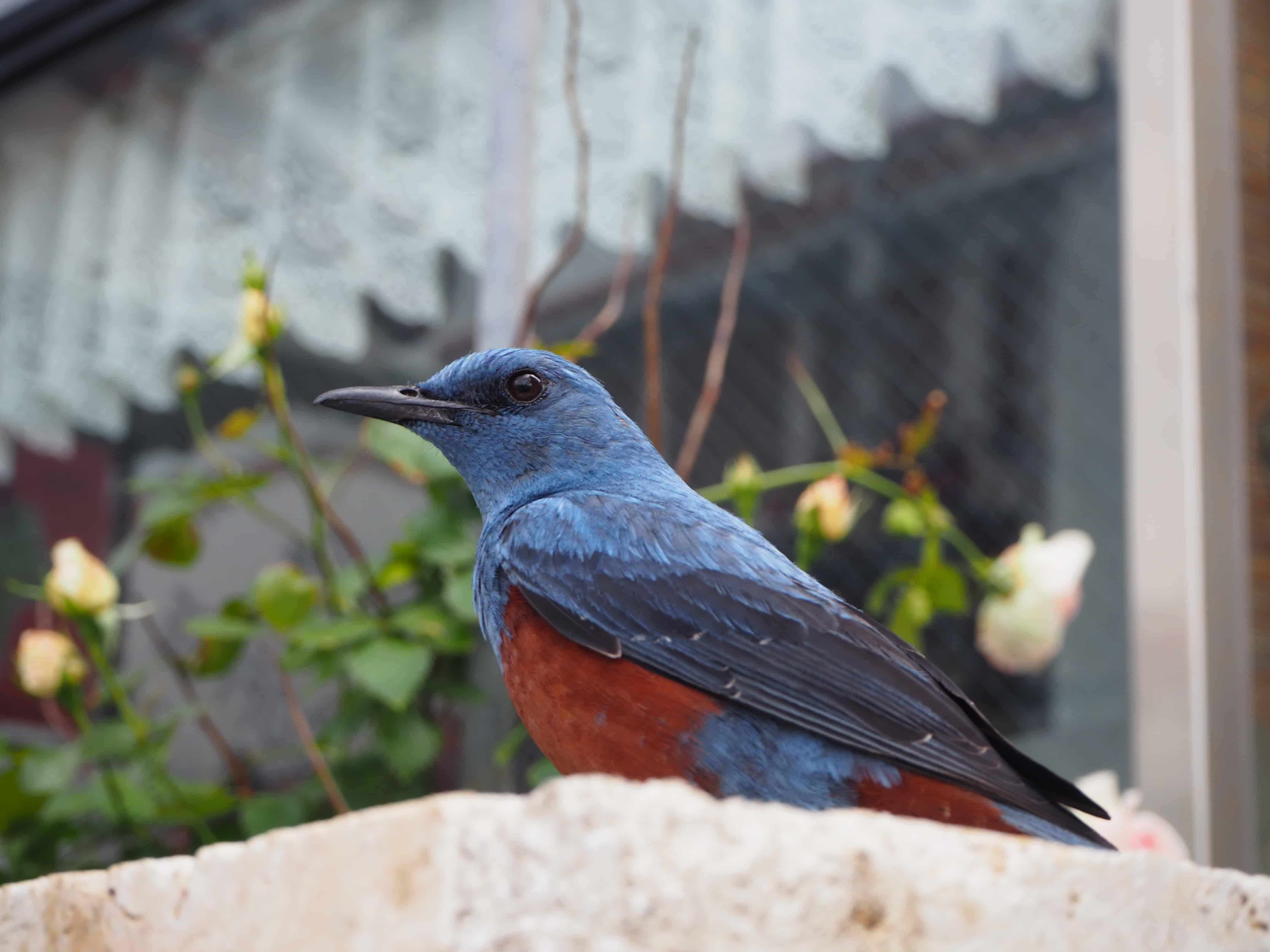 une oiseau bleu et rouge
