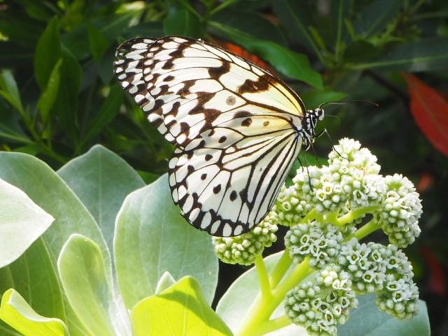 papillion blanc tacheté de noir