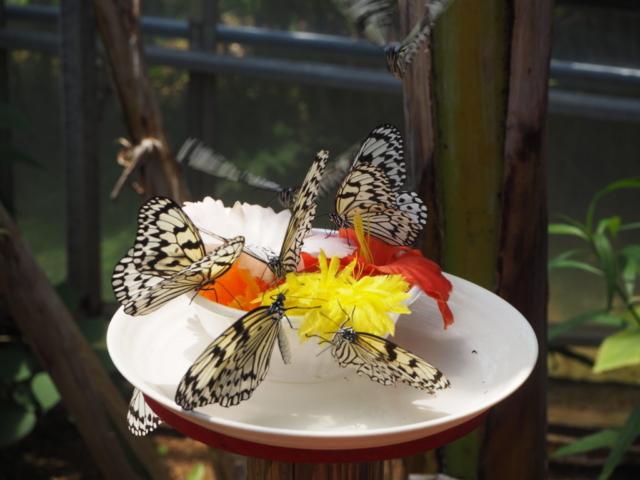 papillons agglutinés sur une fleur