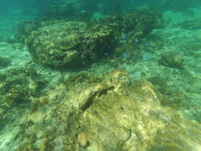coraux & poissons bleus