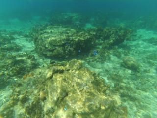 snorkeling - poissons bleus