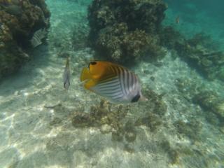 poisson jaune et blanc