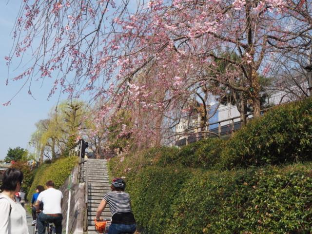 balade à vélo sous les cerisiers en fleur