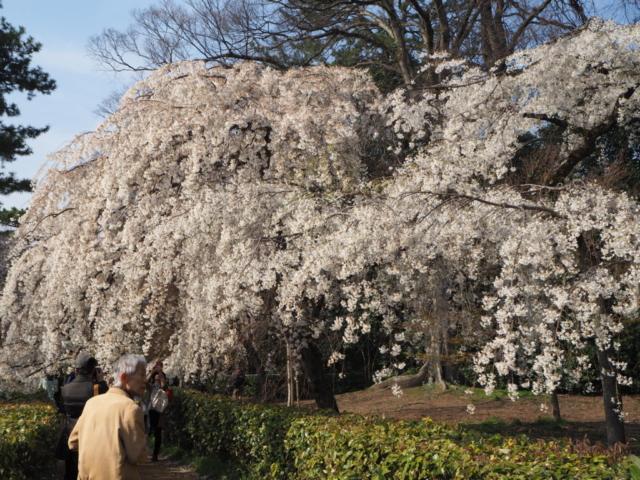 énorme cerisier
