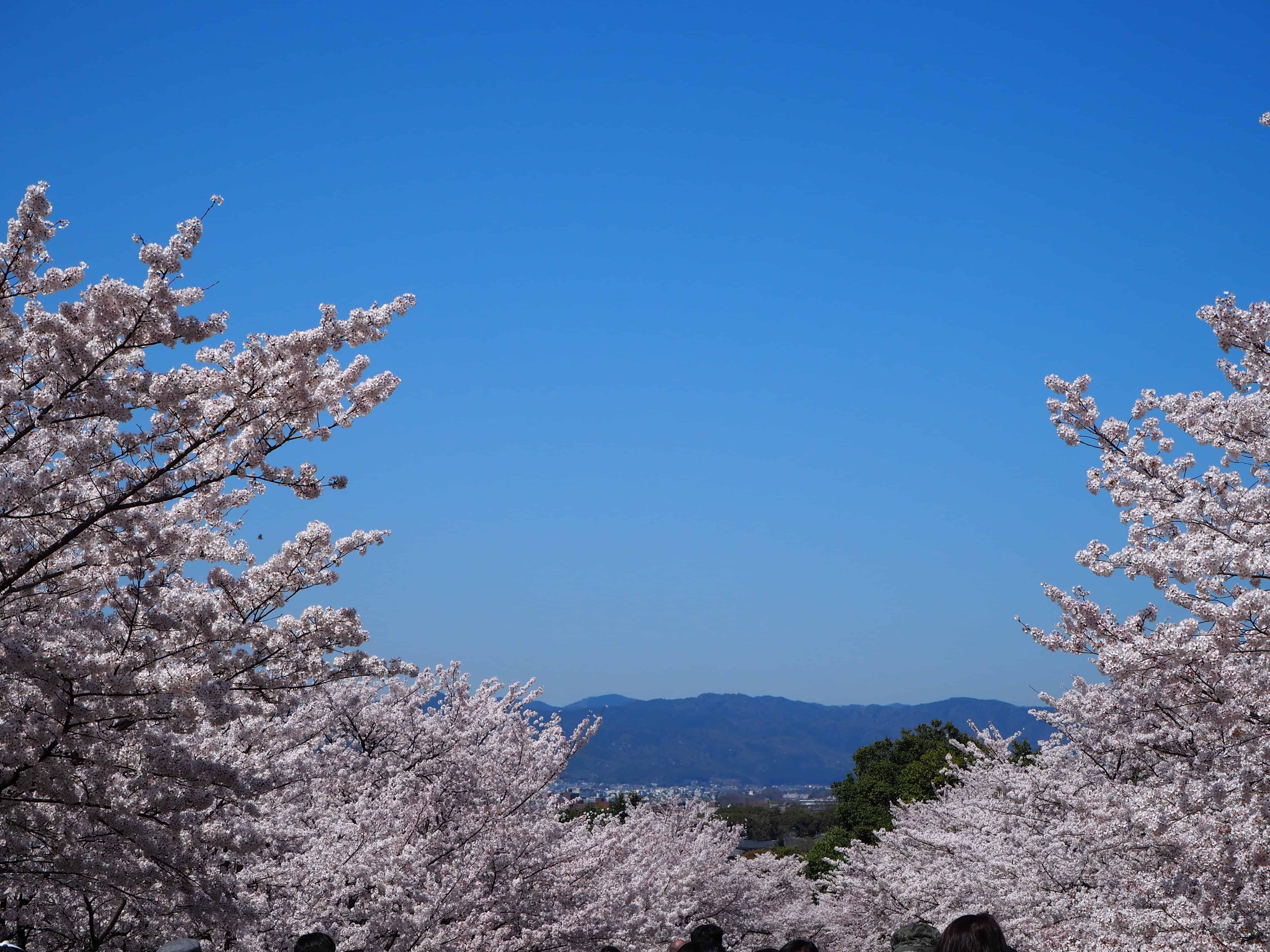 ciel bleu et cerisiers