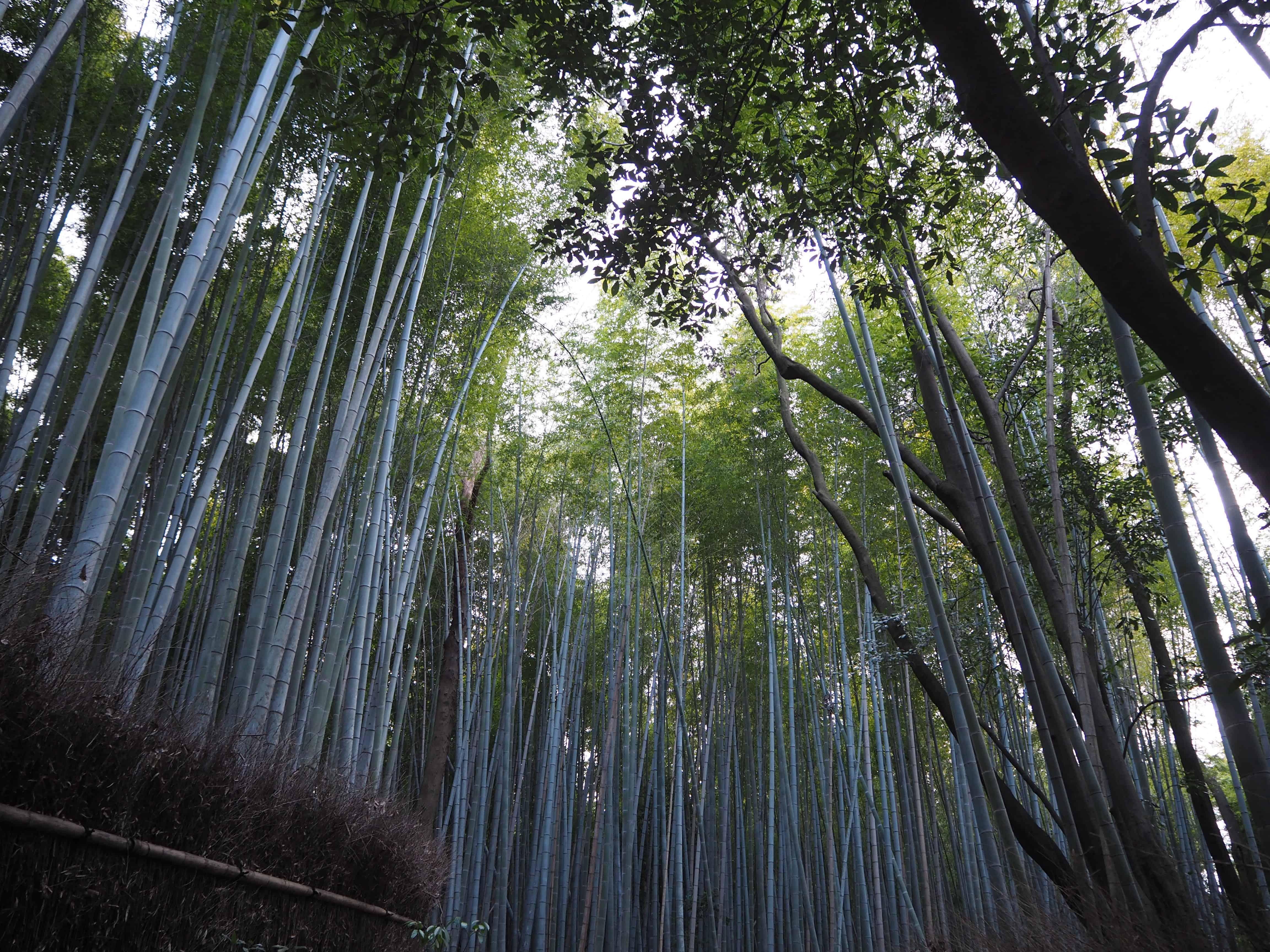 forêt Arashiyama